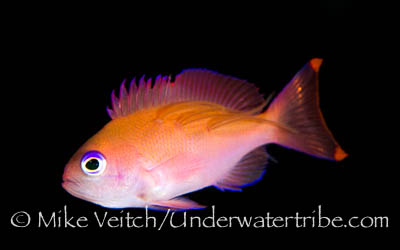 Anthias with parasitic copepods