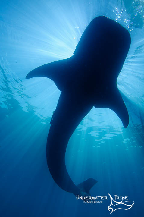 Silhouette of Whaleshark