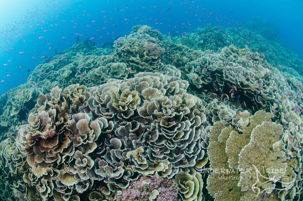 Parigi Moutong Hard Corals