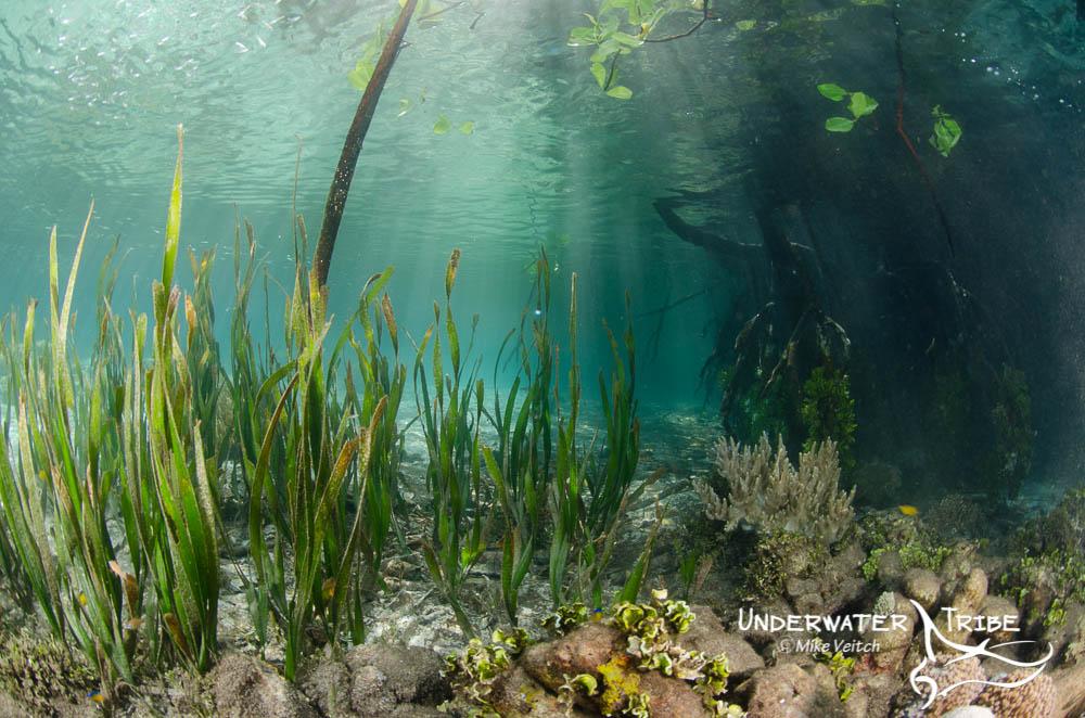 Mangroves Raja Ampat