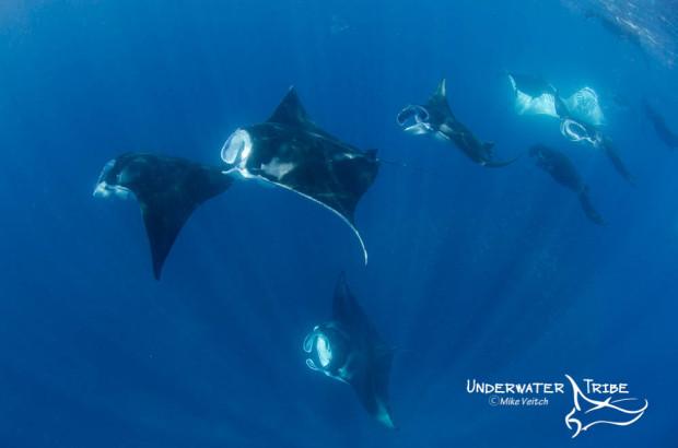 Manta Rays Feeding