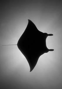 Manta Ray silhouette