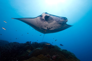 Manta Ray and Cleaning Station